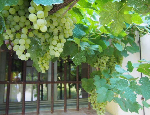home grapes-min